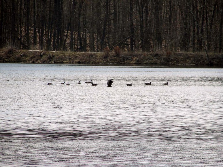 3/31/13 Migrating geese