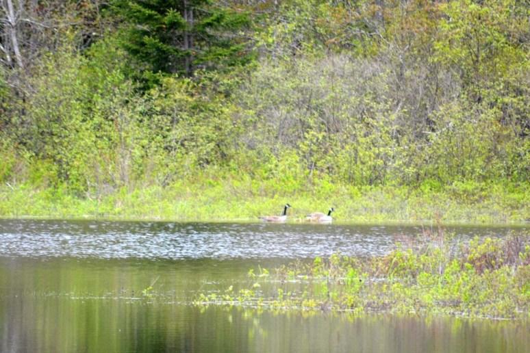 5/26/13 Geese and goslings.