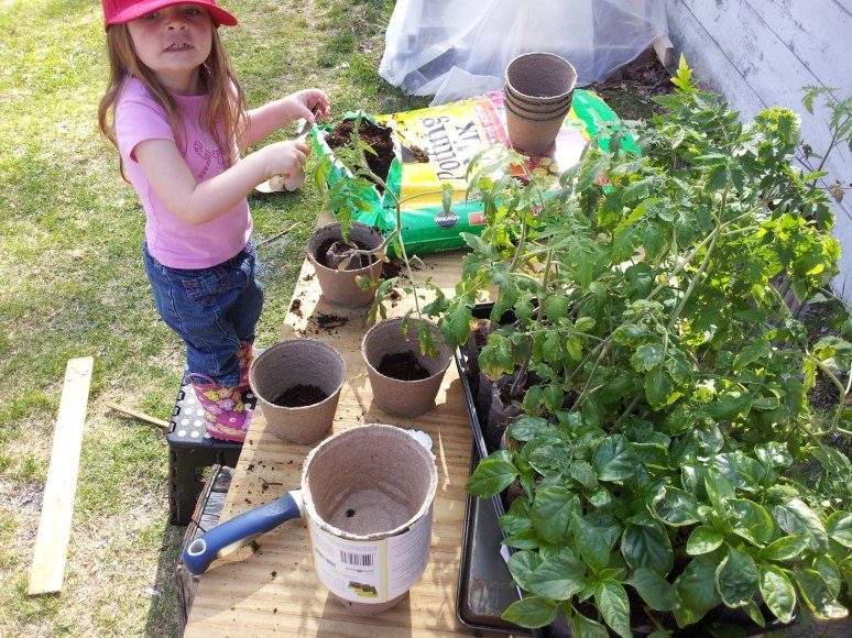 4/29/13 Re-potting our tomato seedlings.